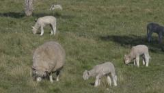 Lambs and sheep in a field in spring Stock Footage