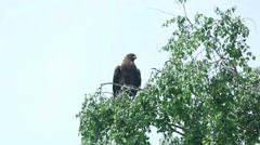 Hawk sitting on a birch Stock Footage