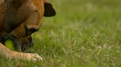 Puggle Dog Playing With Tennis Ball in Super Slow Motion Stock Footage