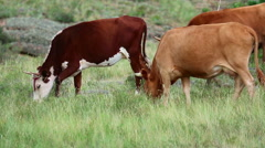 Cows grazing on the meadow. Stock Footage