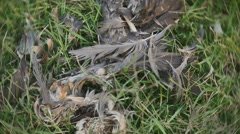 dead bird remains goose corpse - stock footage
