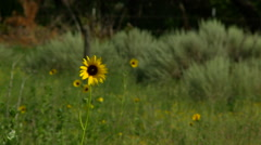 Western Kansas Sunflower in Summer Stock Footage