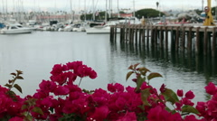 4447-Bougainvillea and sailboats in Ventura harbon-HD P Stock Footage