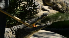 Crocodile in  zoo Stock Footage
