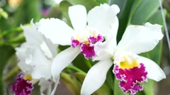 White orchid on the nature Stock Footage