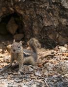 cute little chipmunk looking towards the camera - stock photo