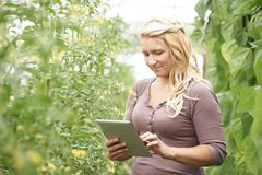 farm worker in greenhouse checking tomato plants using digital tablet - stock photo