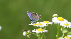 Butterfly on a daisy flowers - stock footage