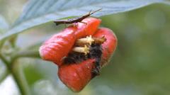 Hot Lips Plant (Psychotria poeppigiana). Stock Footage