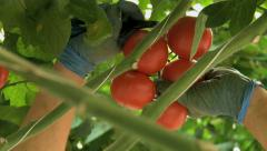 Picking tomatoes - Close up 1 - stock footage