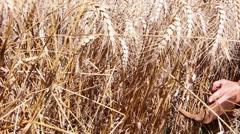Woman harvesting ripe wheat Stock Footage