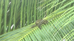 Palm squirrel Stock Footage