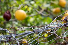 Forbidden fruits behind iron netting fence Stock Photos
