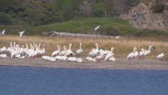 Bodega Bay Pelican Stock Footage