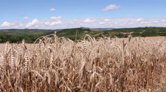 Field with ripe wheat ready for harvesting Stock Footage