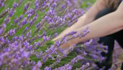 Cutting Lavender Stems Stock Footage