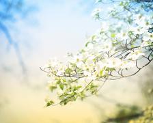 blossoming dogwood tree - stock photo