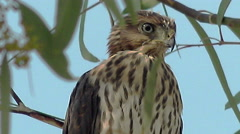 4K UHD extreme close up Harris hawk sitting tree Arizona looking around for prey Stock Footage