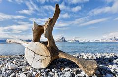 Old whale bone on the coast of Svalbard, Arctic Stock Photos