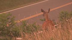 Roadside Deer at Dusk - stock footage