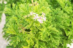 lemon balm scented geraniums bush close up mosquitoes repellent - stock photo