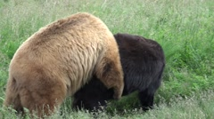 P03712 Black Bears Black and Brown Phase Mating Stock Footage