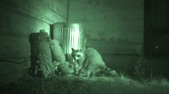 P03715 Raccoon Feeding and Foraging Near Garbage Can at House Stock Footage