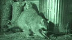 P03714 Raccoon Feeding at Night by Garbage Cans Stock Footage