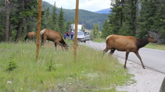 Canada Jasper National Park elk and tourists c Stock Footage