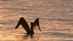 Pelican Flapping its Wings and Taking Off From Water in Slow Motion Stock Footage