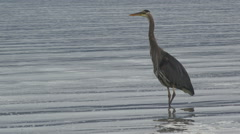 Blue Heron Stalking Fish in Shallow Water HD Stock Footage