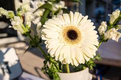 Bright daisy flower - gerbera Stock Photos