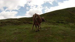 Semi-wild cow turned backward, and wags its tail in the mountains Stock Footage