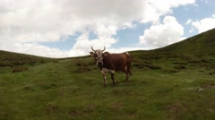 Cow on the green hills under the blue-white sky Stock Footage