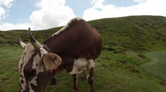 Cow on the green hills under the blue-white sky, medium shot Stock Footage