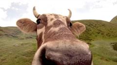 Nostrils cow closeup Stock Footage