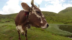 Cow on the green hills under the blue-white sky let steam nose Stock Footage