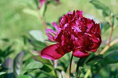 Peony lactiflora flower Stock Photos
