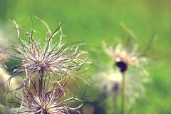pulsatilla vulgaris seedhead - stock photo