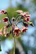Allium siculum, also known as sicilian honey lily Stock Photos