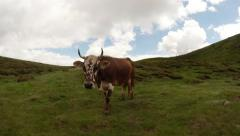 free cow living high in the mountains against the sky near the green grass - stock footage
