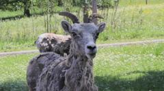 Canada Banff Mountain goat Stock Footage