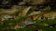 Fight of crocodiles in the river Stock Footage