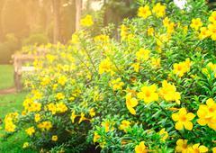 Allamanda cathartica in the garden Stock Photos