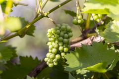 Sun enlightenment unripe bunch of grapes Stock Photos