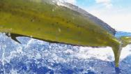 Stock Video Footage of Dolphin Fish Fishing