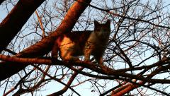 Orange and White Female Calico Cat Climbs Tree, HD, 1080 Stock Footage
