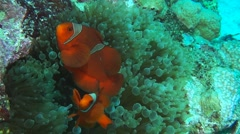 Maroon clownfish and bubble tip anenome Stock Footage