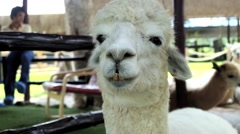 Stock Video Footage of Alpaca is chewing in the farm