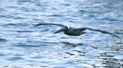 Pelican Gliding Over Water and Flapping its Wings in Super Slow Motion Stock Footage